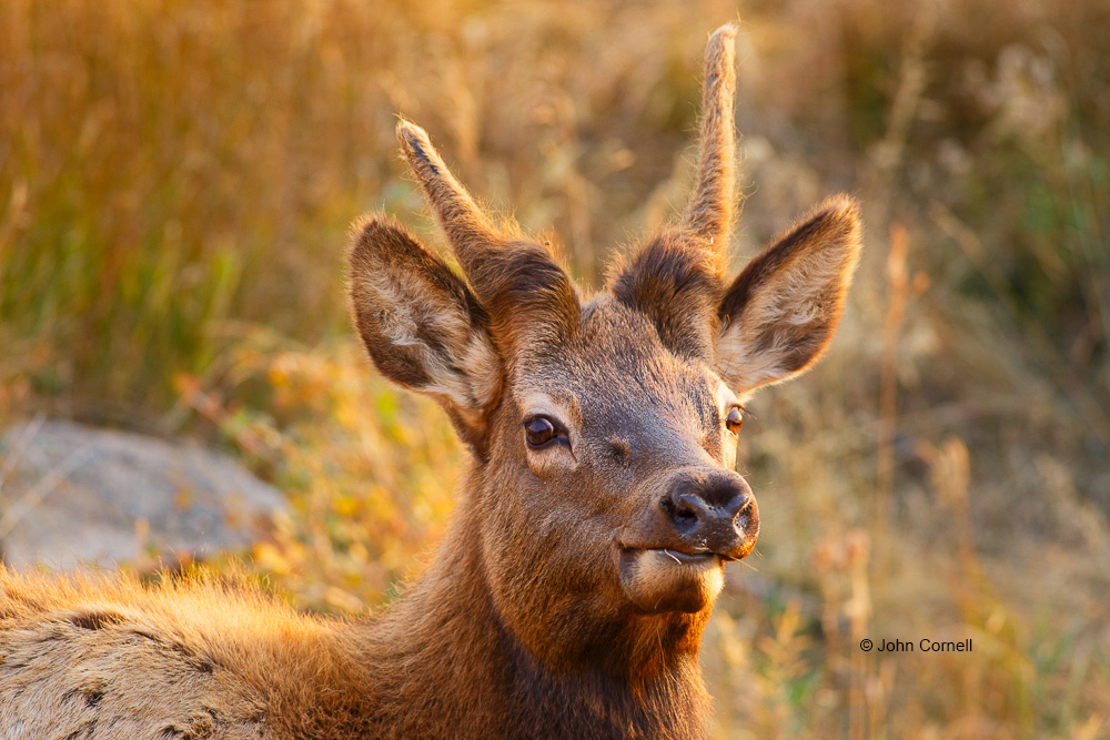 Cervus canadensis;Elk;Rocky Mountain National Park;Young Buck;Young Male;juvenile;young bull