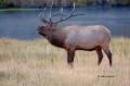 Breeding-Season;Cervus-canadenis;Cervus-canadensis;Elk;Madison-River;Madison-Riv