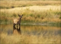 Elk;Cervus-canadenis;Calf;River;Fall;one-animal;close_up;color-image;nobody;phot
