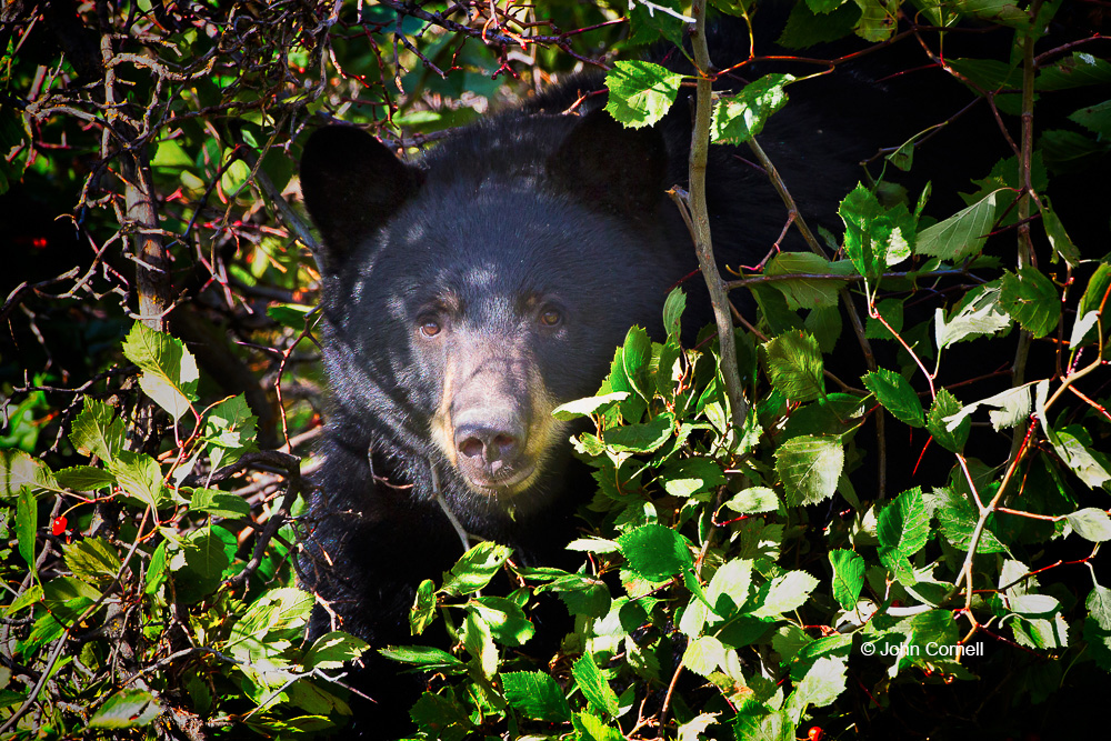 Black Bear;Forage;Mammal;National Bison Range;The National Bison Range;Ursus americanus;foraging;predator
