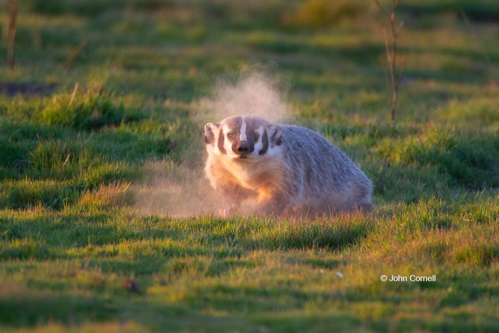 American Badger;Badger;California;Furry;Merced National Wildlife Refuge;Taxidea taxus;one animal;outdoor;outdoors. Wildlife;predator, Dust Bath