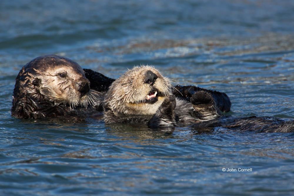 Enhydra lutris;Sea Otter