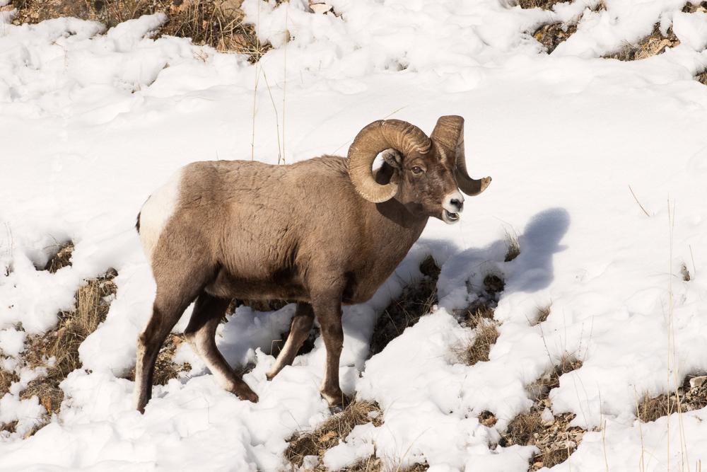 Bighorn Sheep;Forage;Mountains;Ovis canadensis;Sheep;Snow;Wild Animal;Winter;Winter Yellowstone National Park;foraging;wilderness;wildlife