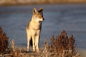 Canus-latrans;Coyote;Oncorhynchus-nerka;One;color-image;color-photograph;natural