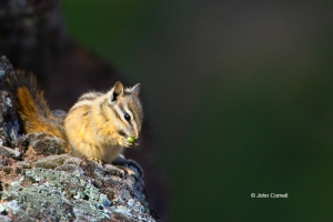 Chipmunk;Least-Chipmunk;Neotamias-minimus;Oncorhynchus-nerka;One;color-image;col