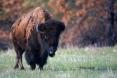 American-Bison;Bison;Bison-bison;Buffalo;One;color-image;color-photograph;natura
