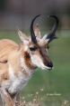 Antelope;Antilocapra-americana;One;Pronghorn;Pronghorn-Antelope;color-image;colo