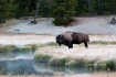 American-Bison;Bison;Bison-bison;Buffalo;One;Yellowstone-National-Park;avifauna;