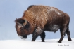 American-Bison;Bison;Bison-bison;Buffalo;One;Snow;Winter;Winter-Yellowstone-Nati