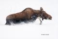 Alces-alces;Moose;Snow;Winter-Yellowstone-National-Park;Yellowstone-National-Par