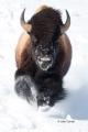 American-Bison;Bison;Bison-bison;Buffalo;Snow;Winter-Yellowstone-National-Park;Y