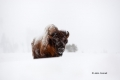 American-Bison;Bison;Bison-bison;Buffalo;One;Snow;Winter;Winter-Yellowstone-Nati