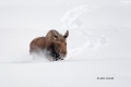 Alces-alces;Moose;One;Snow;Winter-Yellowstone-National-Park;Yellowstone-National