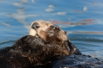 Enhydra-lutris;Resting;Sea-Otter;nurture;nurturing;parent;parenting;protect;prot