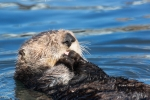 Enhydra-lutris;Floating;One;Preening;Resting;Sea-Otter;color-image;color-photogr