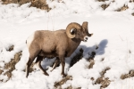 Bighorn-Sheep;Forage;Mountains;Ovis-canadensis;Sheep;Snow;Wild-Animal;Winter;Win