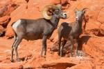Desert;Desert-Bighorn-Sheep;Erosion;Ewe;Female;Male;Nevada;Ovis-canadensis-nelso
