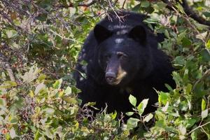 Black-Bear;National-Bison-Range;The-National-Bison-Range;Ursus-americanus