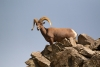 Animals-in-the-Wild;Bighorn-Sheep;Blue-Sky;Cottonwood-Canyon;Desert;Mountain;Mt-