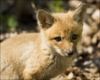 Red-Fox;Fox;Kit;Juvenile;one-animal;close-up;color-image;nobody;photography;day;