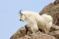 Goat;Oreamnos-americanus;Mountains;Day;Daytime;Outside;Mammal;Mammals;Nature;Hoo