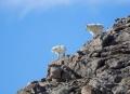 Rocky-Mountain-Goat;Oreamnos-americanus;Mountain-Goat;two-animals;outdoors;outsi