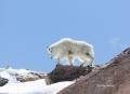 Mountain-Goat;Rocky-Mountain-Goat;Oreamnos-americanus;One;one-animal;outdoors;ou