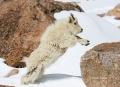 Mountain-Goat;Rocky-Mountain-Goat;Oreamnos-americanus;Yearling;One;one-animal;ou