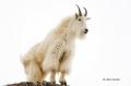 Mountain-Goat;Rocky-Mountain-Goat;Oreamnos-americanus