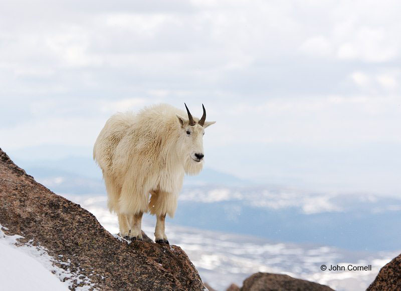 Mountain Goat;Rocky Mountain Goat;Oreamnos americanus;One;one animal;outdoors;outside;untamed;wild;color;color photograph;daytime;close up;color image;photography;animals in the wild;wilderness;watching;watchful;Hooved