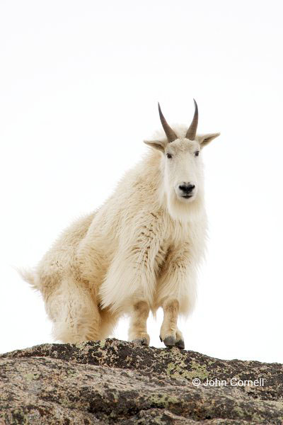 Mountain Goat;Rocky Mountain Goat;Oreamnos americanus;One;one animal;feather;feathered;outdoors;outside;untamed;wild;color;color photograph;daytime;close up;color image;photography;animals in the wild;wilderness;watching;watchful;Snow
