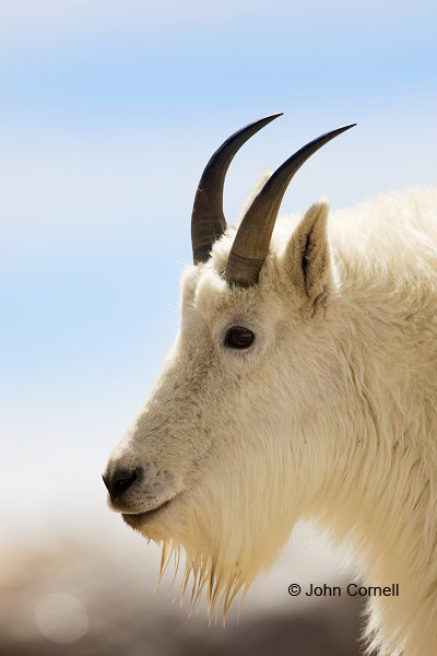 Goat;Mountain Goat;One;one animal;outdoors;outside;untamed;wild;color;color photograph;daytime;close up;color image;photography;animals in the wild;wilderness;watching;watchful;Colorado;Mount Evans;Oreamnos americanus;Close up