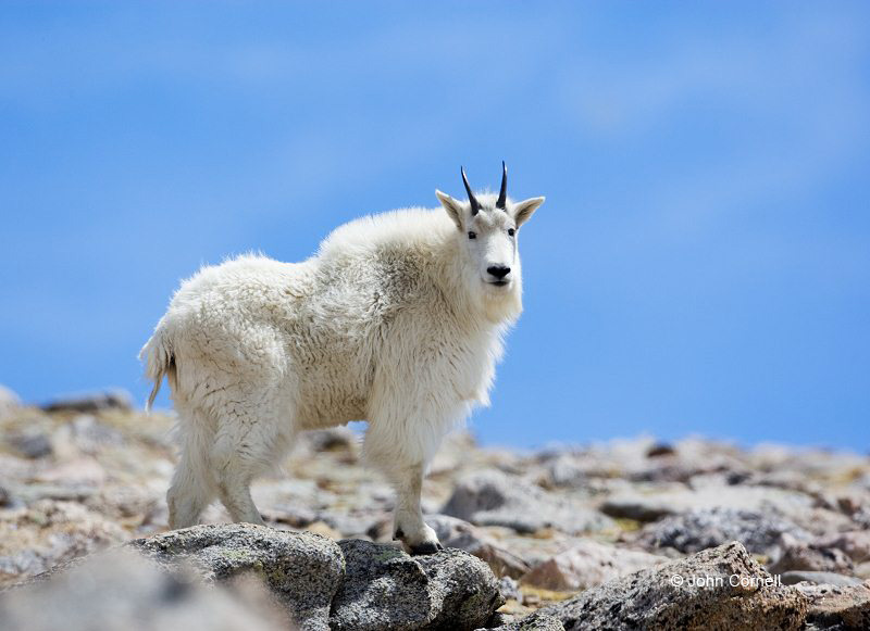 Goat;Oreamnos americanus;Mountains;Day;Daytime;Outside;Mammal;Mammals;Nature;Hooved;Furry;Horned;Rocks;Sky;Clouds;Mountain Goat;One;one animal;outdoors;outside;untamed;wild;color;color photograph;daytime;close up;color image;photography;animals in the wild;wilderness;watching;watchful;Colorado;Mount Evans;Close up