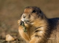 Prairie-Dog;Cynomys-ludovicianus;Black-Tailed-Prairie-Dog;One;one-animal;outdoor