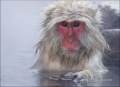 Japanese-Macaque;Snow-Monkey;Macaca-fuscata;one-animal;close_up;color-image;nobo