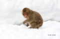 Japanese-Snow-Monkey;Snow-Monkey;Macaca-fuscata;Japanese-Macaque;One;one-animal;