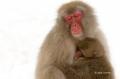 Japan;Japanese-Macaque;Japanese-Snow-Monkey;Snow-Monkey;Macaca-fuscata;Narita;on