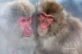 Japan;Japanese-Macaque;Japanese-Snow-Monkey;Snow-Monkey;Macaca-fuscata;Narita;tw