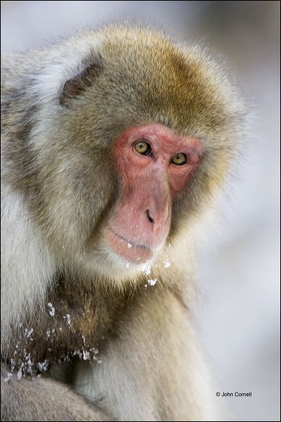 Japanese Macaque;Snow Monkey;Macaca fuscata;Japanese Snow Monkey;One;one animal;outdoors;outside;untamed;wild;color;color photograph;daytime;close up;color image;photography;animals in the wild;wilderness;watching;watchful;Primate;Fur;Furry;Close up
