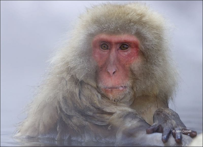 Japanese Macaque;Snow Monkey;Macaca fuscata;Japanese Snow Monkey;Nihon-zaru