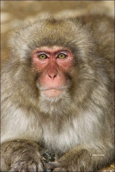 Japanese Macaque;Snow Monkey;Macaca fuscata;Japanese Snow Monkey;Nihon-zaru