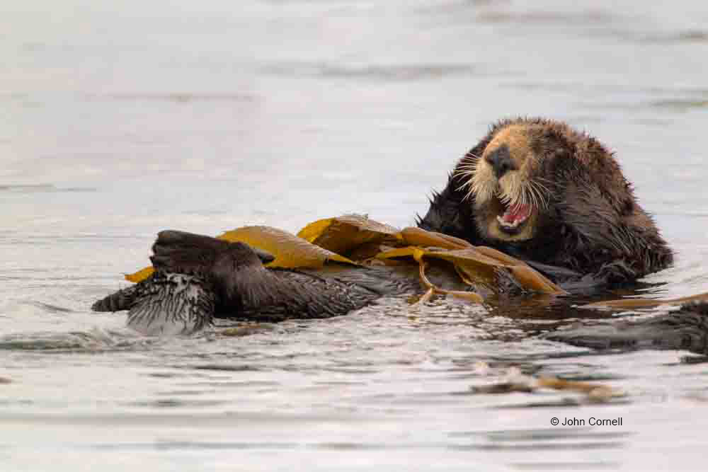 Enhydra lutris;Feeding Behavior;Sea Otter;feeding