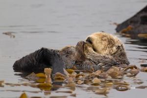 Enhydra-lutris;Sea-Otter;water;floating;ocean;animal;animal-in-the-wild;one