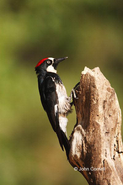 Acorn Woodpecker;Woodpecker;Melanerpes formicivorus;One;one animal;avifauna;bird;birds;feather;feathered;outdoors;outside;untamed;wild;color;color photograph;daytime;close up;color image;photography;animals in the wild;feathers;wilderness;perch;perching;watching;watchful