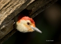 Red_bellied-Woodpecker;Florida;Everglades;Woodpecker;Nest-Hole;Melanerpes-caroli