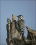Ladder_backed-Woodpecker;Woodpecker;Texas;Southwest-USA;Picoides-scalaris;one-an