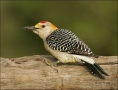 Golden_fronted-Woodpecker;Woodpecker;Southwest-USA;Texas;Male;Melanerpes-aurifro