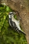 Downy-Woodpecker;Florida;Woodpecker;Picoides-pubescens;one-animal;close_up;color