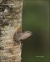 Northern-Flicker;Flicker;Nest-Hole;Female;Florida;Southeast-USA;Colaptes-auratus
