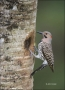 Northern-Flicker;Flicker;Nest-Hole;Male;Florida;Southeast-USA;Colaptes-auratus;o